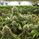 Sustainable future for cannabis: why Europe should prefer SmallCannabis™