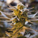 Sanders and Warren Vow to Legalize Marijuana Through Executive Action