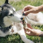Is it legal for you to give CBD to your pets?