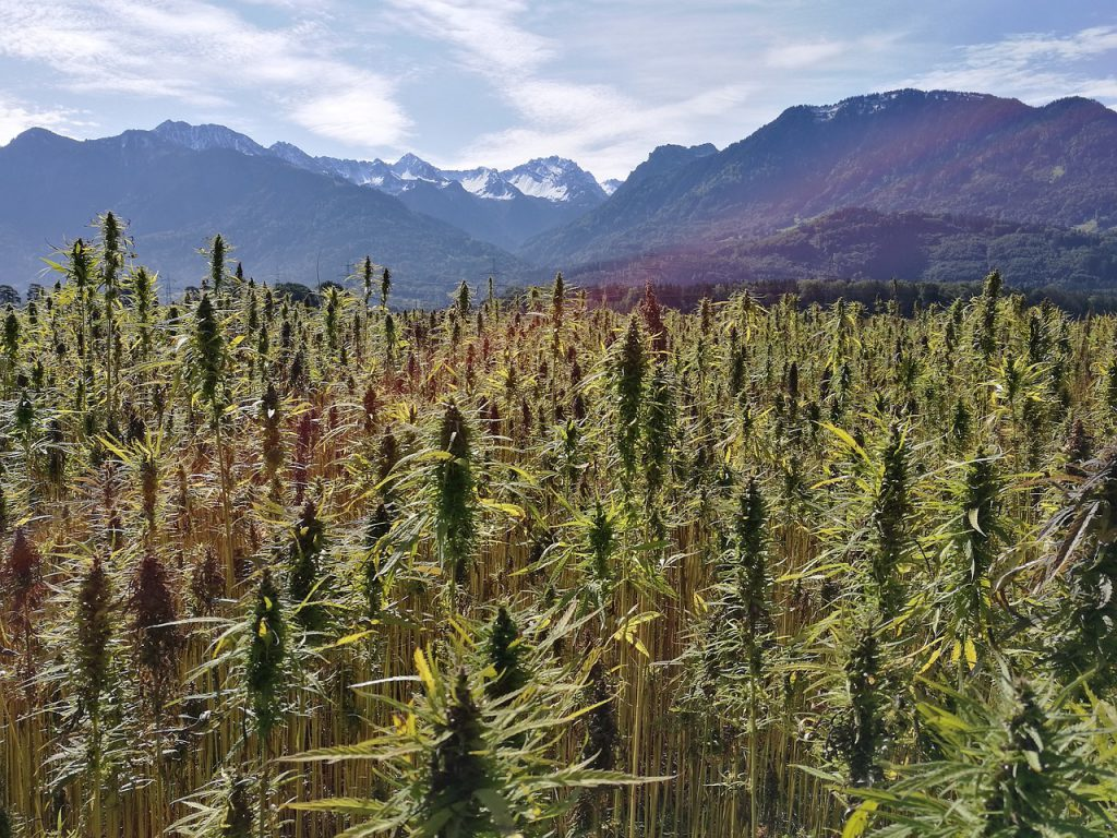 New intellectual-property options help hemp breeders protect their genetics