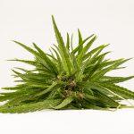 Bootleg marijuana vapes produce vapor tainted with formaldehyde, tests show