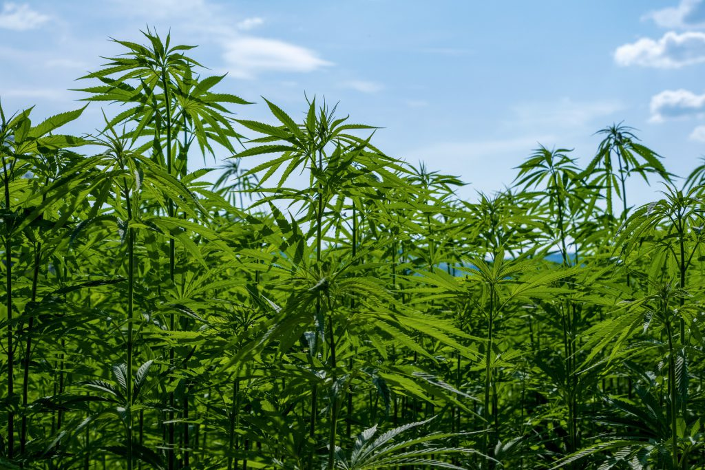 Jamaica-Moves-to-Give-Traditional-Farmers-a-Cut-of-the-Legal-Cannabis-Industry
