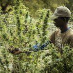Maine abandons plan to double per-acre fees on hemp farmers