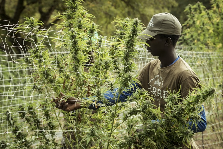 Maine-abandons-plan-to-double-per-acre-fees-on-hemp-farmers