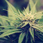 South Dakota House votes to legalize industrial hemp